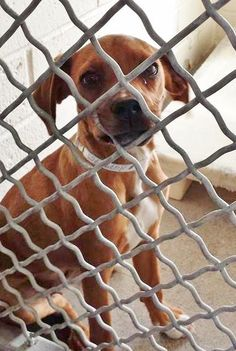 She is just 5 months old and super cute. Please SHARE, a FOSTER would save this beautiful baby girl. Thanks! #A4799755 I'm an approximately 5 month old female beagle. I am not yet spayed. https://www.facebook.com/171850219654287/photos/pb.171850219654287.-2207520000.1423945964./370158933156747/?type=3&theater