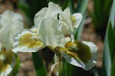 Moss Spot (Don Spoon 2007) reblooms