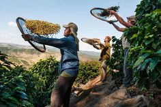 Photo taken by @stevemccurryofficial // Happy International Coffee Day!  I photographed these farmers in Brazil as they were harvesting berries from coffee plants.  It is believed that the earliest use of coffee was in Ethiopia.  It spread to Yemen by the fifteenth century and to the rest of the Middle East Turkey Persia North Africa and then to Europe and the Americas. Global coffee consumption is about 12 billion pounds per year. by natgeo