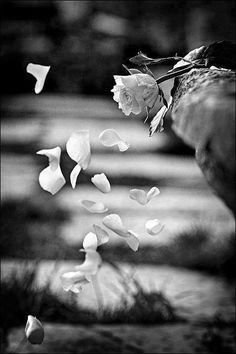 petals falling off rose drifting in air, black white photography, White Flowers, Beautiful Flowers, Beautiful Pictures, Beautiful Couple, Jolie Photo, Black And White Pictures, Black And White Photography, Flower Power, Art Photography