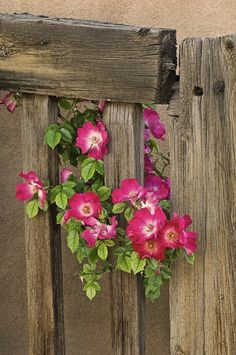 roses peeking through a weathered wooden fence