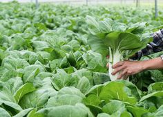 Hand selected asian veg to ensure maximum freshness! Lettuce, The Selection, Asian, Vegetables, Food, Asian Cat, Vegetable Recipes, Eten, Veggie Food