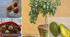 How to Grow Your Own Avocado Tree ~ Think before throwing away that avocado seed! If you want to have your own avocado tree, you can plant it Growing Plants, Growing Vegetables, Regrow Vegetables, Growing Fruit Trees, Garden Plants, Indoor Plants, Fruit Tree Garden, Herb Garden, Organic Gardening
