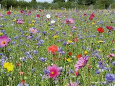 Planting patches of Wildflowers in gardens, to replenish those lost in meadows & farmland, has been shown to be beneficial to the Bee population