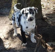 Odin is an adoptable Great Dane Dog in Carthage, NC.  ...