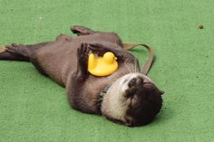 An otter and her rubber duck Super Cute Animals, Cute Baby Animals, Animals And Pets, Wild Animals, River Otter, Sea Otter, Significant Otter, Magnificent Beasts, Cute Ferrets