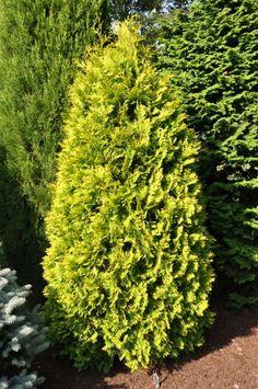 Thuja occidentalis 'Yellow Ribbons'