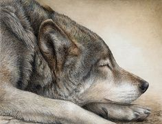 Part 2 - Wildlife Painter Pat Erickson: At Last a Wolf Can Take the Time to Rest. Animal Paintings, Animal Drawings, Pencil Drawings, Illustrations, Illustration Art, Color Pencil Art, Wildlife Art, Art Pages, Dog Art