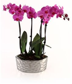 Orchid Planter Care ;just add ice orchids