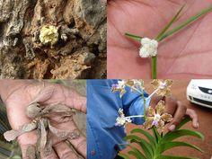 Indian Medicinal Plants used with Agnigarbha+Bahari Jadi+Tapodhana+Rang Mata and Dracaena terniflora Roxb. for Neurological disorders : Pankaj Oudhia's Medicinal Plant Database
