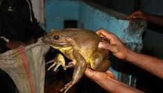 "Scientists have discovered that the world's largest frog, the Goliath frog, builds pond ""nests"" for their young in the wild by moving rocks weighing up to 4 pounds. They then guard these ponds from … Frog Species, Nest Building, Frog Life, Baby Pool, Heavy Rock, Rock Pools, The Weather Channel, World's Biggest, Find Picture"
