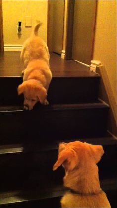 What does an 6 month Labrador do when an 8 week old puppy is too scared to go down the stairs?