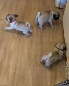 Cute Little Animals, Cute Funny Animals, Funny Dogs, Cute Pug Puppies, Cute Dogs, Puggle Puppies, Doggies, Puppy Quotes, Baby Pugs