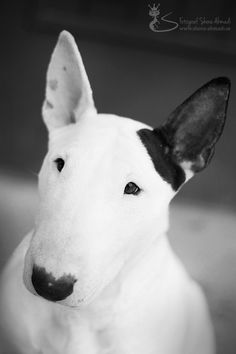 Doris the Bullterrier by Shora Ahmadi, via 500px