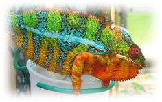 Panther Chameleons For Sale | ... Sale, Panther Chameleons For Sale, Buy Chameleons, Panther Chameleon