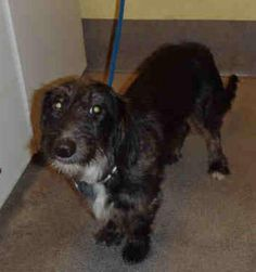 #MARYLAND ~ Charlotte is an #adoptable #Dachshund #Doxie #Terrier #Dog in #Bethesda  Charlotte -- Wire Haired Dachshund -- Female -- 1 year-- 22 lbs -- black/gray -- Fun, fun, fun ...