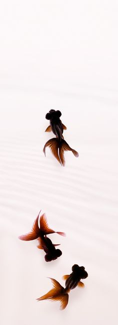 "Gold fish ""Kuro-demekin"". photo by Osamu Yamazaki. I want this tattooed somewhere on my body"