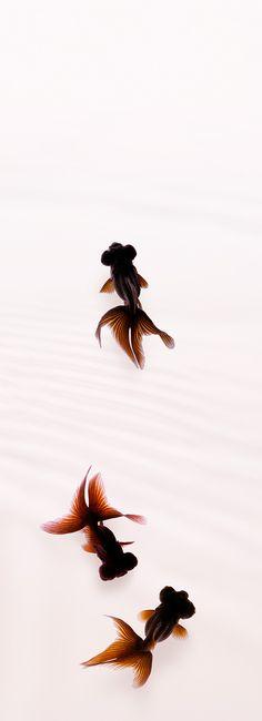 """Gold fish """"Kuro-demekin"""". photo by Osamu Yamazaki."""