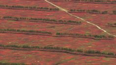 Blueberry fields in Maine. An aerial view in autumn. [From: Aerial America: Maine]