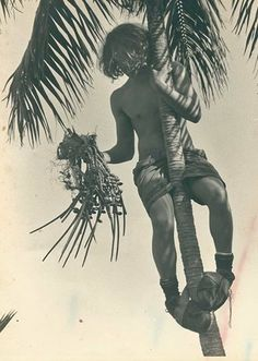 An oldie but a goodie, Islander Jai Shick collects seeds from the endemic Lord Howe Island Kentia Palm.