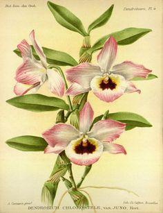 Dictionnaire iconographique des orchidees :.  Bruxelles :Imp. F. Havermans, 1896-1907..