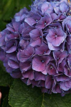 Merrit's Surpeme Hydrangea {bluer tones in acidic soil}