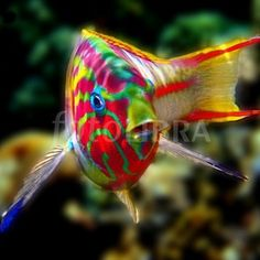 Klunzinger's Wrasse - Thalassoma Rueppellii - Red Sea - Grows to 20 cm