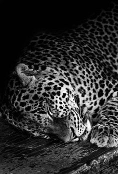 Sam Alharbi :: Leopard