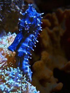 Blue seahorse -- I love these precious, little creatures! Underwater Creatures, Underwater Life, Ocean Creatures, Underwater Pictures, Vida Animal, Mundo Animal, Beautiful Creatures, Animals Beautiful, Fauna Marina