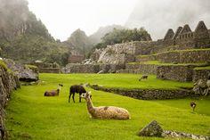 Llamas on the lawn.
