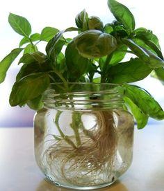 ervas que podem ser cultivadas na água