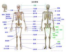 全身骨格の骨の名称、舌骨、浮肋、肋軟骨、恥骨結合なども記載しています。bone name