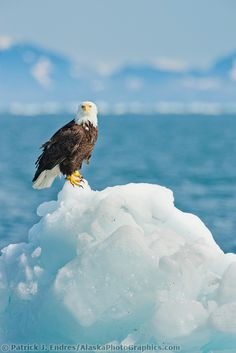 Bald eagle on iceberg northern Prince William Sound southcentral Alaska Eagle Pictures, Animal Pictures, All Birds, Birds Of Prey, Beautiful Birds, Animals Beautiful, Wings Like Eagles, Mundo Animal, Big Bird