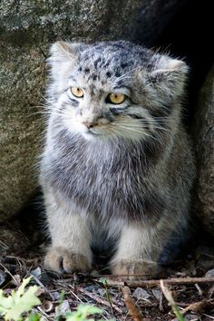 Mostly Cats. Mostly. • Young Pallas Cat (via juicepic)