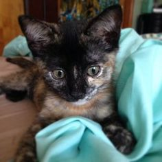 Buttercup is an adoptable Tortoiseshell Cat in Staten Island, NY. Buttercup, a 3 month old Tortie. Buttercup has a very playful and sweet personality. She is super friendly and outgoing. She enjoys pl...
