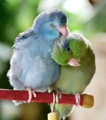 Cute, cuddly Parrotlets <3 www.busybird.com