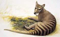 Thylacine / Tasmanian Tiger - the largest known carnivorous marsupial of modern times.  Native to Australia, Tasmania and New Guinea.  Last wild Tasmanian tiger was killed by a farmer in 1930, last captive died in 1936.  Declared extinct in 1986. ... Or is it? Reports of sightings in Tasmania, from highly respected sources, suggest that it may still be hanging in there by a thread.