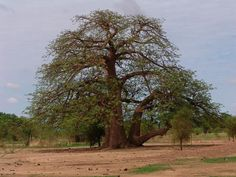 From the top 10 Endangered Trees - The African Baobob. These trees can take 1000 years to grow in a non forgiving climate.