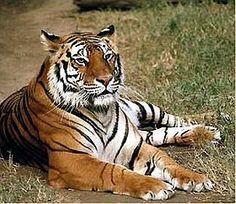 tiger - tigers Photo