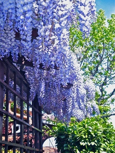 Raining Purple wisteria