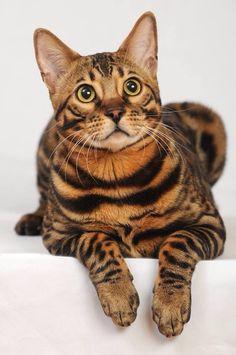 Bengala Cat
