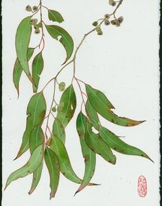 Eucalyptus 6 watercolour , pencil and gouache on Arches paper. Original painting by Gaby Malpas