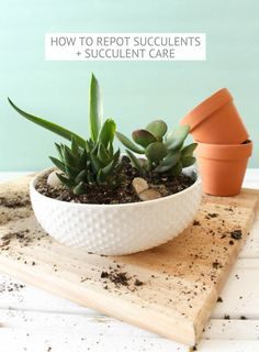 How to Repot Succulents + Succulent Care Succulents are some of the most popular plants due to their low-maintenance mentality which make them beautiful and enduring house plants. They are known for their juicy water storing leaves and st…