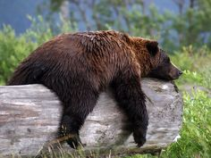 Yeah, I have had days like this! Grizzly Bear  Photograph by Carol Bock,