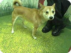 #GEORGIA #URGENT ~ Rascal ID A460967 is a Neutered pb Shiba Inu dog in need of a loving #adopter / #rescue at FULTON COUNTY ANIMAL CONTROL   860 Marietta Blvd NW   #Atlanta Georgia 30318    ac.info@fultoncountyga.gov   adoptions@fultoncountyga.gov Ph 404-613-0357