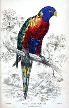 Rainbow Lorikeet AKA Blue-Bellied Lorikeet (Trichoglossus haematodus, synonym: Trichoglossus swainsonii). Edward Lear, from Natural history of parrots, by Prideaux John Selby, Edinburgh, 1836.
