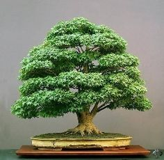 How to start a Bonsai tree