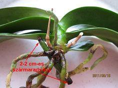 Phalaenopsis szaporítása Orchids, Plant Leaves, Plants, Balcony, Plant, Planets, Orchid