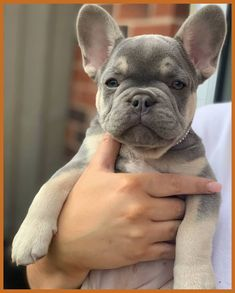 (Article) French Bulldog Grooming Tips, Tools-(Article) Bouledogue Français Conseils de toilettage, outils et conseils utiles… (Article) French Bulldog Grooming tips, useful tools and advice. How to wash well are French Bulldog - Baby French Bulldog, French Bulldog Breeders, Bulldog Breeds, Teacup French Bulldogs, English Bulldog Puppies, Pet Breeds, Bulldog Puppies For Sale, Cute Dogs And Puppies, Baby Puppies
