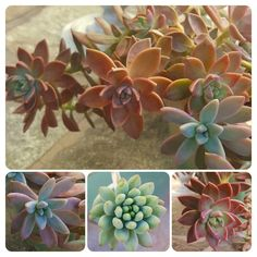 Blushing over the colors in this arrangement I put together months ago.🤗 #succulents #succulent #succulentlove #succulove #succulentsofinstagram
